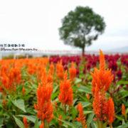2013台中新社花海節